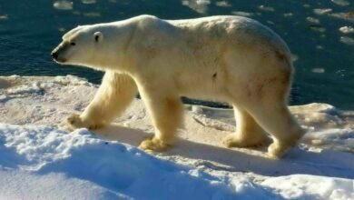 صورة كندا.. استخدام الذكاء الاصطناعي لمواجهة الدببة القطبية