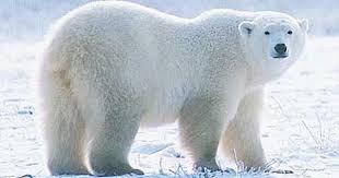 صورة اختراع طال انتظاره.. رادار يعمل بـ الذكاء الاصطناعي لمواجهة الدببة القطبية في كندا